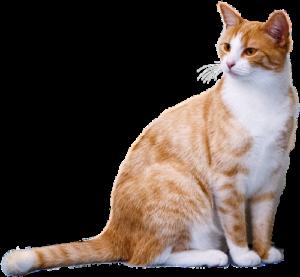 germistonvetcat1