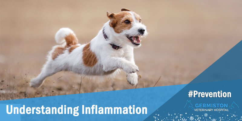 germiston vet inflammation
