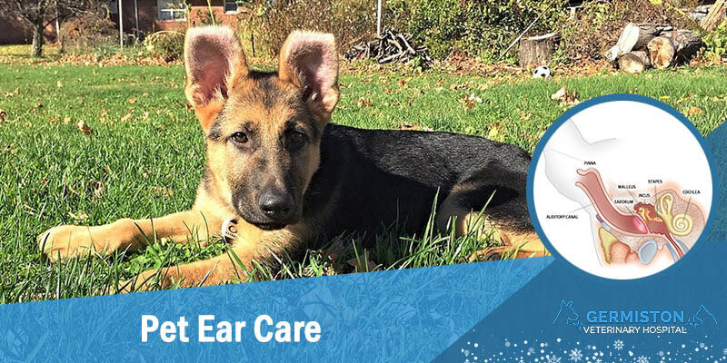 germiston vet ear disease