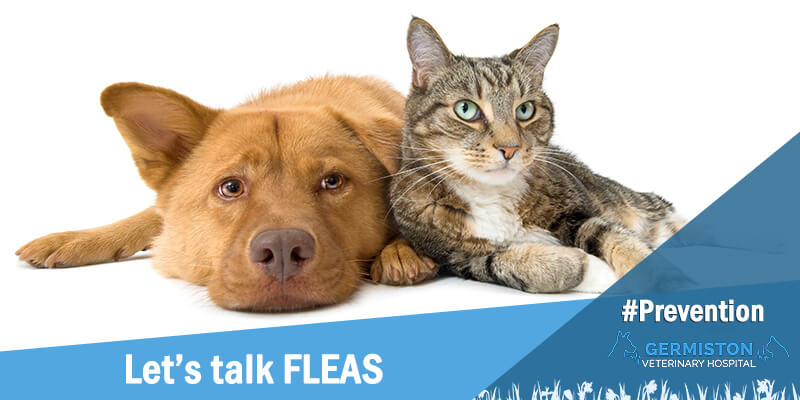 germiston vet lets talk fleas